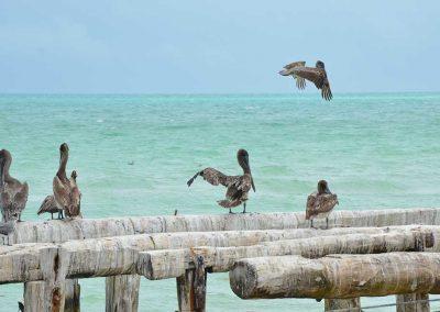 pelican-el-cuyo